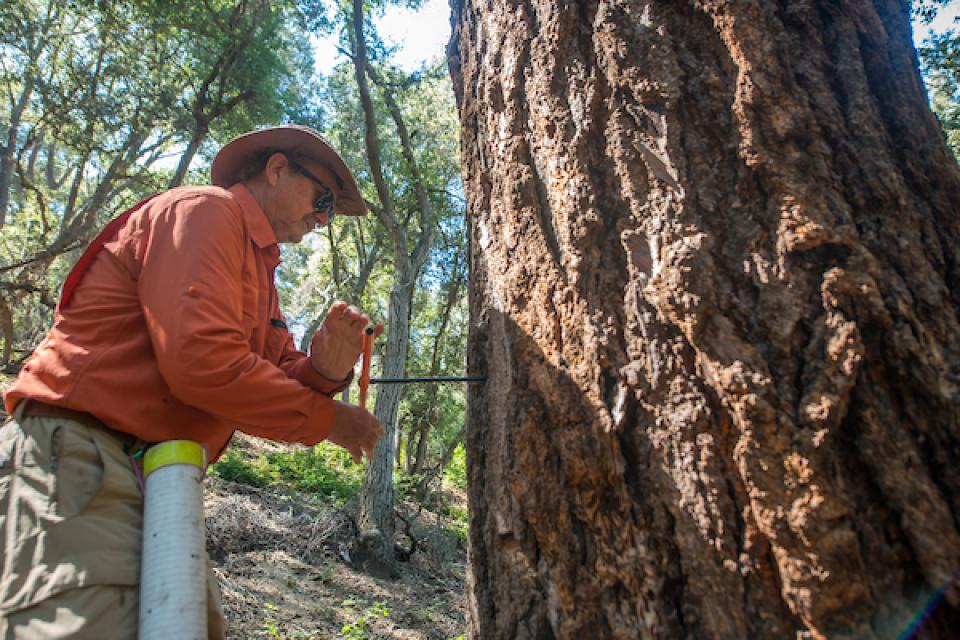 University of Arizona research professor removes tree core sample from bigcone Douglas fir tree.