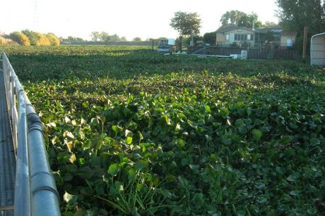 Water Hyacinth - Delta (Photo by Bureau of Reclamation)
