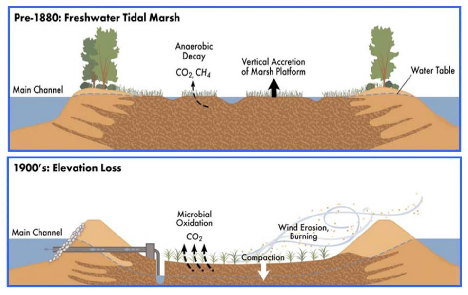 Much of the Delta is sinking due to subsidence, which is caused by the drainage of Delta wetlands and the subsequent oxidation of peat soil.