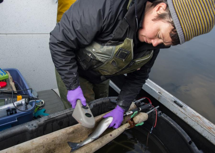 One problem for the Delta smelt, salmon smolts and other native species is predation by introduced species, including the striped bass. In December 2014, DWR scientists went to Clifton Court Forebay where they caught and tagged striped bass so they can monitor predator fish behavior.
