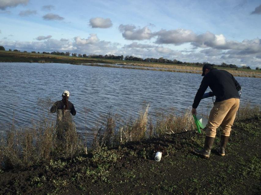 A second project undertaken by River Garden Farms entails cycling water through harvested rice fields in the fall and winter to foster growth of microorganisms that can then be pumped into the Sacramento River as food for fish.