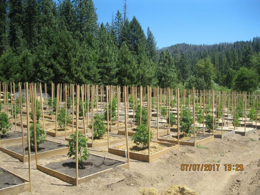 A garden growing marijuana plants in Northern California.