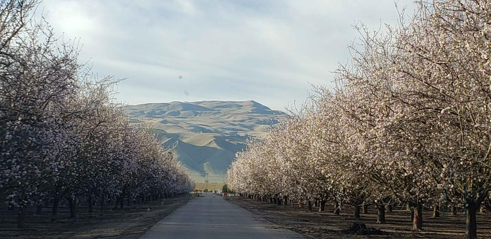 Trees bloom at a Maricopa Orchards  property in Kern County.