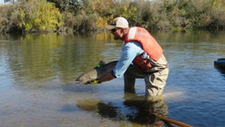 Chinook salmon being released into the San Joaquin River