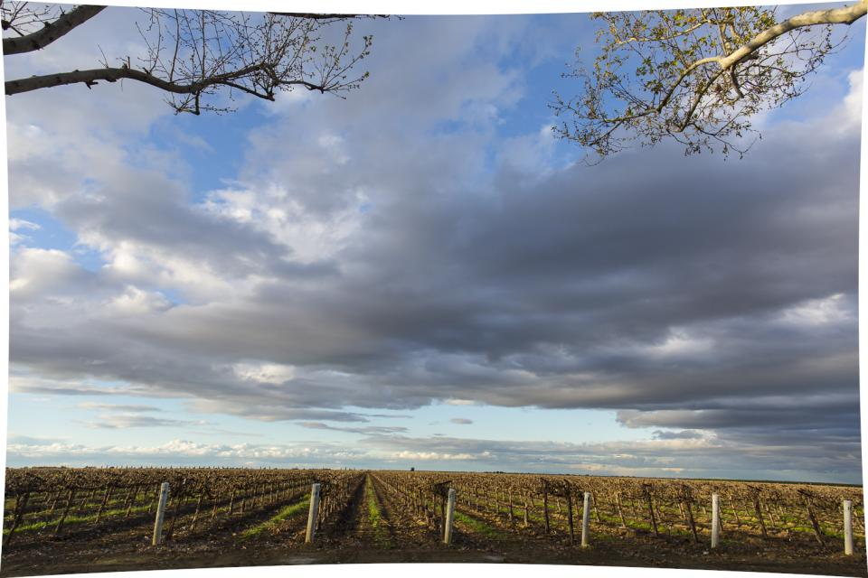 A view of a San Joaquin Valley vineyard.