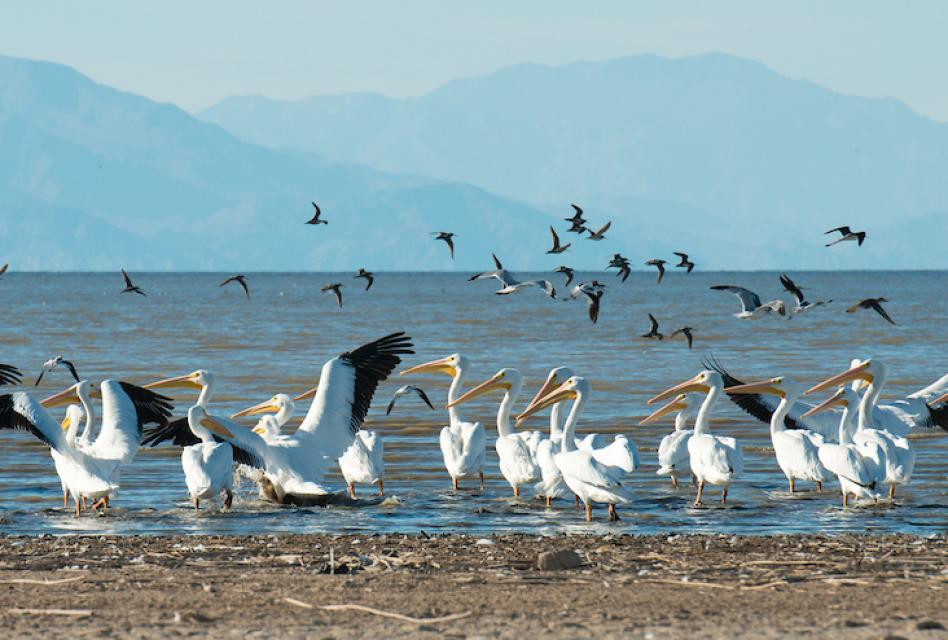 The Salton Sea is a major nesting, wintering and stopover site for about 400 bird species.