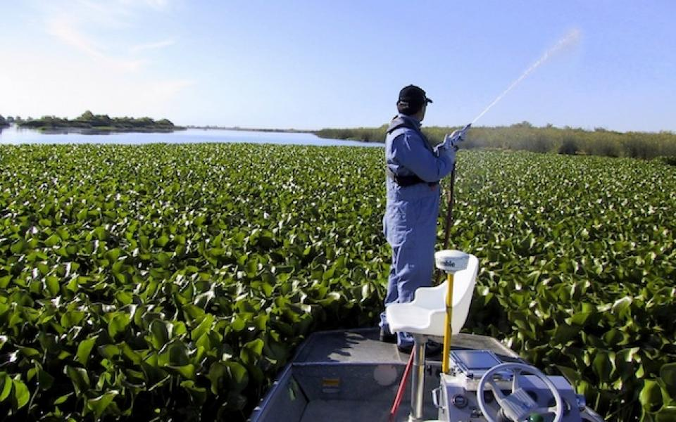 Water hyacinth choke a channel in the Sacramento-San Joaquin Delta.